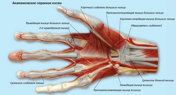 Строение кисти руки, МР диагностика